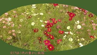 akizakura1111.jpg