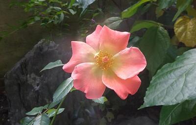 autumnrose111.jpg
