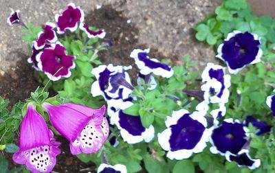 flowerperple111.jpg