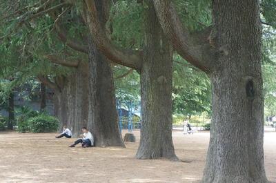 himarayasugi111.jpg