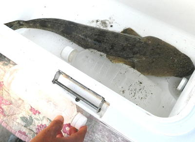 kochifish1.jpg