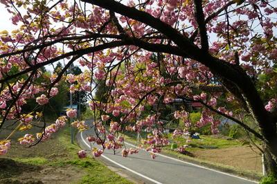 mmmwayyaesakura9-9.jpg