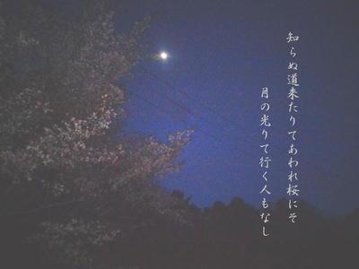 nightsakura1.jpg