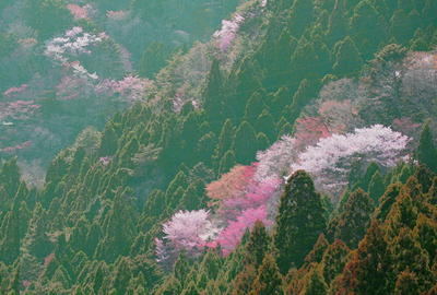 ooharasakura44.jpg