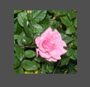 roseabcdefg11.jpg