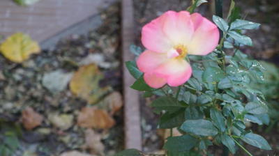 rosebegin11.jpg