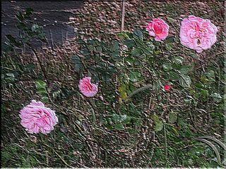 roseend111.jpg