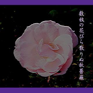 rosepetalll123.jpg