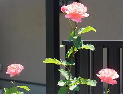 rosethree.jpg