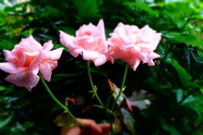 rosethree111.jpg
