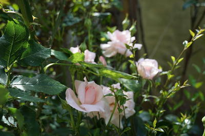 rosewhaite12.jpg