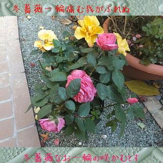 rosewwwww1111.jpg