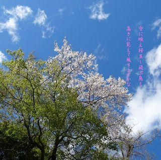 sakurachikakuni111.jpg