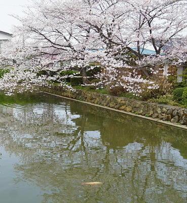 sakurahachiman2.jpg