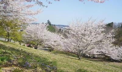 sakurakashima11.jpg