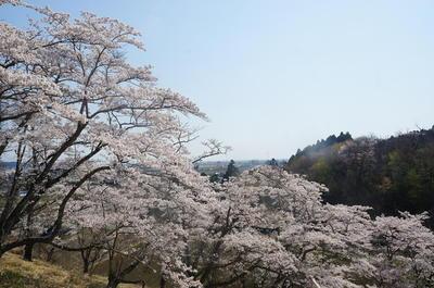 sakurakashima222.jpg