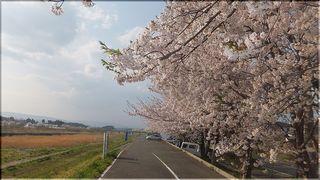 sakuramanogawa111.jpg
