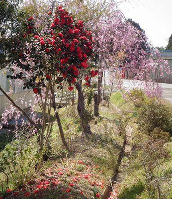 sakurashidare1.jpg