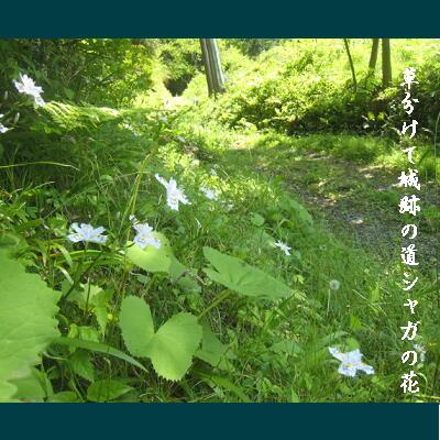 shagakusa1.jpg