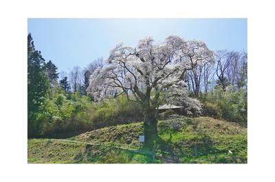 shinowsakura3.jpg