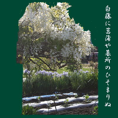 shiraaya111.jpg