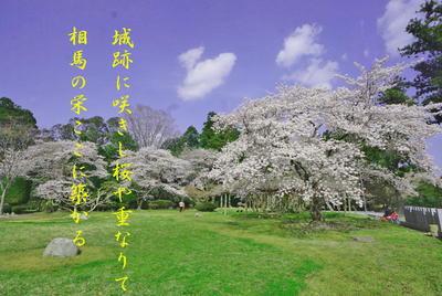shirosakuraato5.jpg