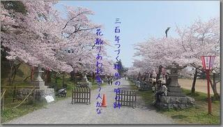 shirrosakura1111.jpg