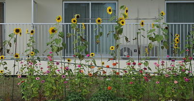 smallsunflower11.jpg