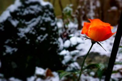 snowrose4.jpg