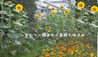 sunflowerer222.jpg