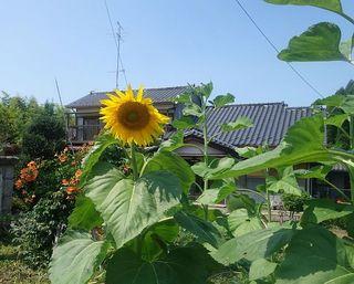 sunnflowerrr1.jpg
