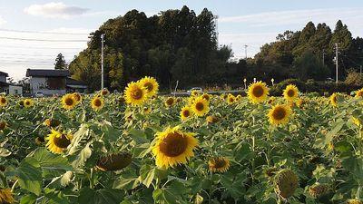 sunnflowerrr11.jpg