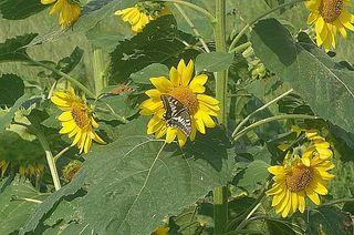 sunnflowerrr12.jpg