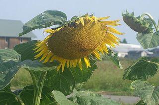 sunnflowerrr12234.jpg