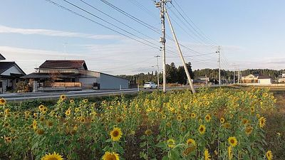 sunnnflowerrrr111234.jpg