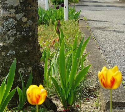 tulipblack11.jpg