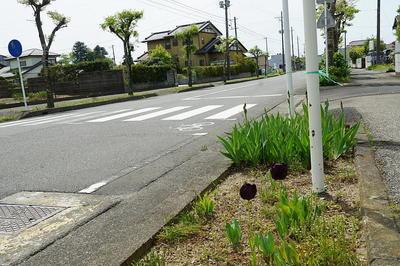 tulipblacksss22.jpg