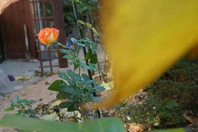 winterrose11111.jpg