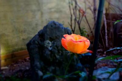 winterrose3.jpg