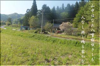 yaesakuraarara.jpg
